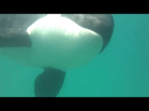 Swimming with wild Orca whales, New Zealand